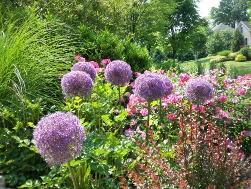 Allium brings dimension to a garden!