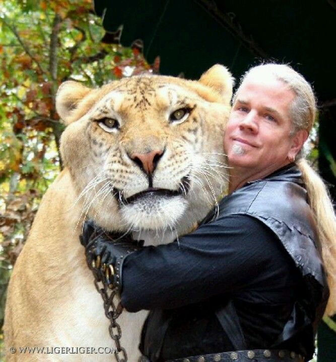 A liger. Absolutely gorgeous