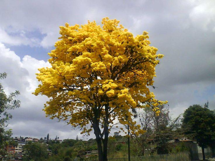Araguaney, El árbol nacional de Venezuela.