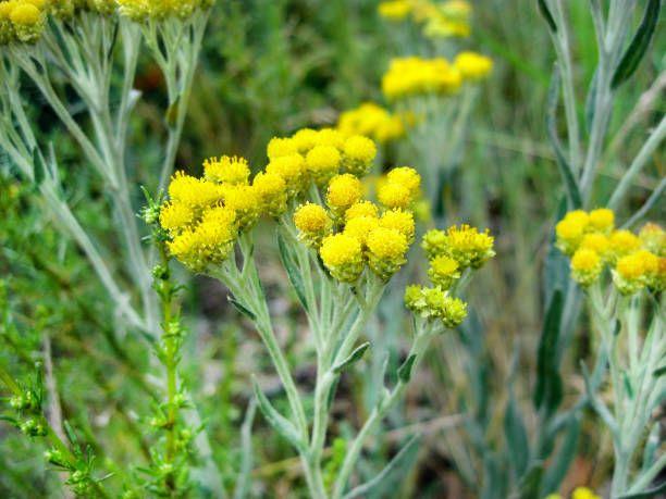 Kocanka Cudowne Ziele Na Watrobe Trawienie Oczyszczenie Przepisy Herbs Natural Remedies Plants