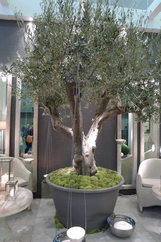 An impressive potted olive tree towers over patio chairs for Fertilizing olive trees in pots