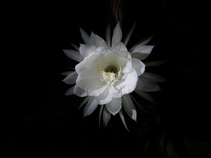 Epiphyllum oxypetalum this morning at 4am  - http://earth66.com/botanical/epiphyllum-oxypetalum-morning-4am/