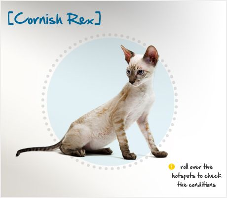 The Cornish Rex breed originated in 1950 on a farm in Cornwall, England, when a litter of kittens with one very unusual member was born there. Named Kallibunker, the standout of the litter had very fine, curly hair. His owner decided to use Kallibunker as the start of the breed we now know as the Cornish Rex.
