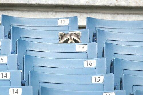 raccoon, animal, and blue kép
