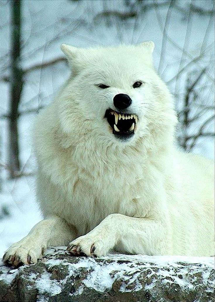 Because of the isolated areas where the Arctic wolf lives, they do not have too many problems with predators. Sometimes, young people can be devoured …