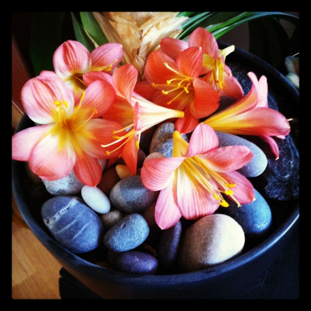 Clivia. The blooming is over.