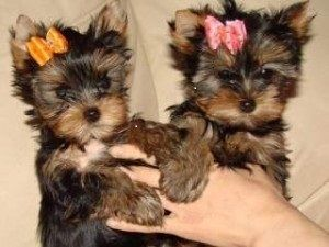 Two Top Class Yorkie Puppies For Adoption. Text via (507)299-4292