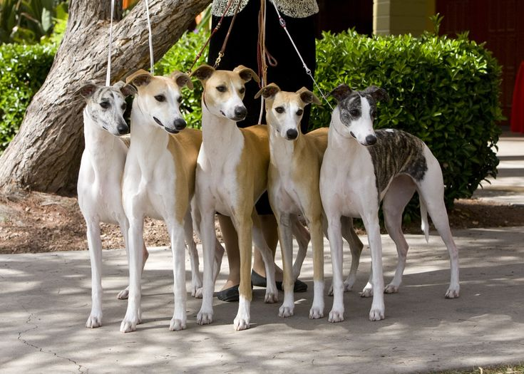 Whippets.