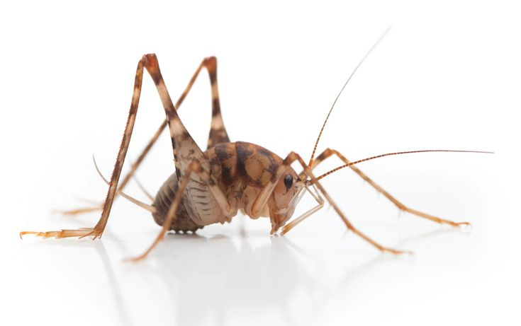how to get rid of cave crickets in basement
