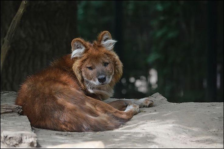 So schaute jedenfalls der schöne Rothund aus...   kein Wunder...sein Nickerchen wurde von einem Haufen Welpen unterbrochen :-)   Zoo Magdeburg 2015