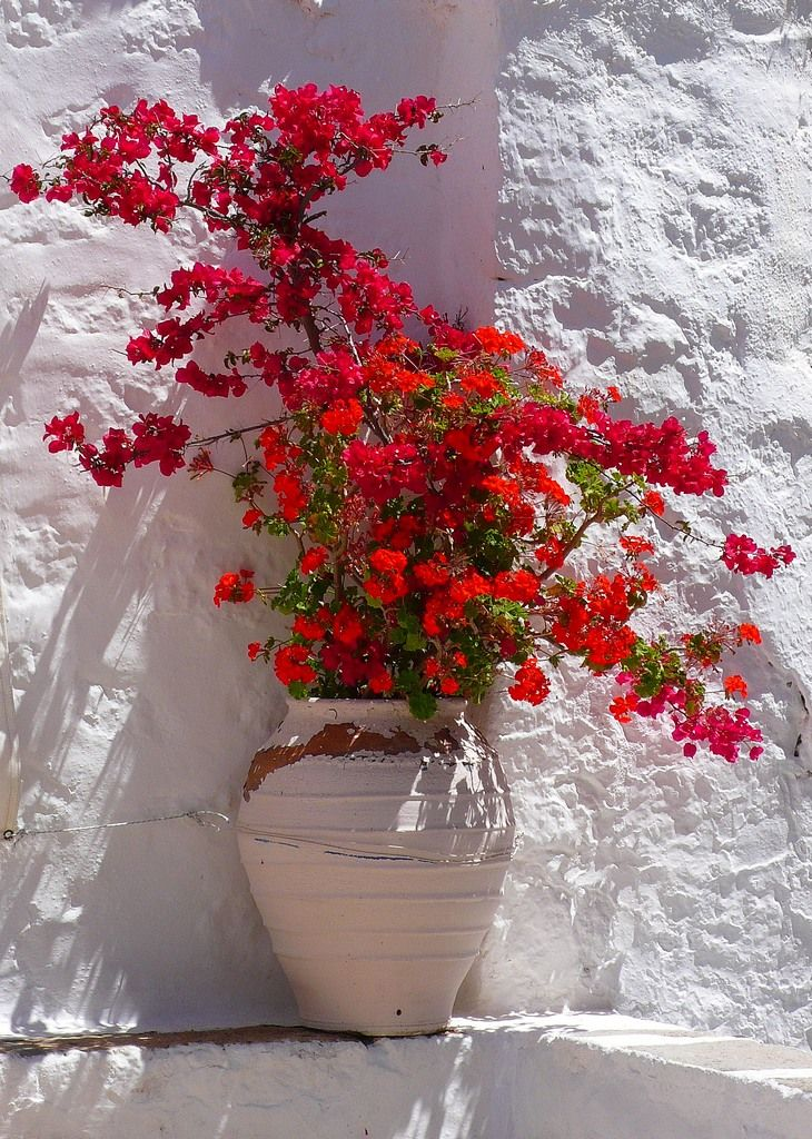 Patmos island, GreeceGardens Ideas, Container Gardens, Bougainvillea, Red Flower, Red Bouquets, Greece, Beautiful, Plants, White Wall