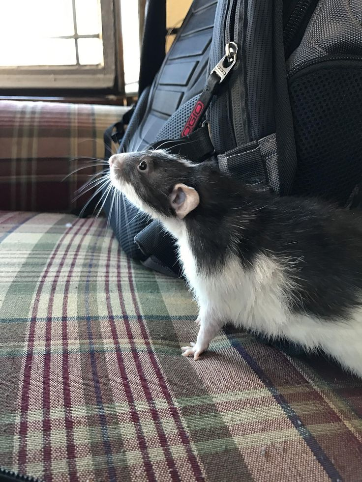 [HELP] First timer looking old boy advice #aww #cute #rat #cuterats #ratsofpinterest #cuddle #fluffy #animals #pets #bestfriend #ittssofluffy #boopthesnoot