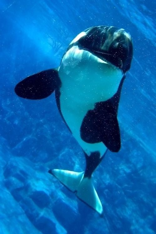 Orca whale ~ Just a little scary looking sometimes but so beautiful!