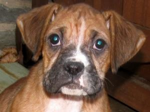 Wendy is an adoptable Boxer Dog in Harpers Ferry, WV