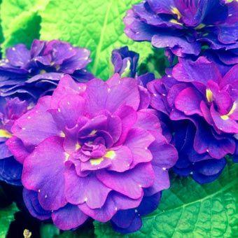 67 best zone 7 shade perennials images on pinterest gardening cobalt blue double primrose shade flowersshade plantsshade perennialsblue gardenzone 7primrosescobalt mightylinksfo