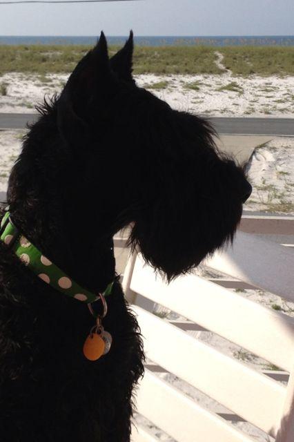 Sadie, Giant Schnauzer at the beach.