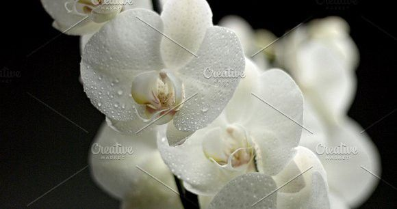 White Orchid On Black Background Black Backgrounds White Orchids Orchids