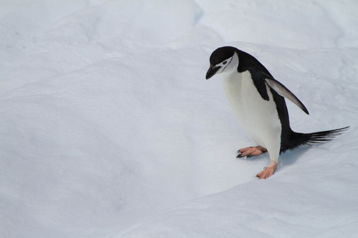 My favorite photograph of a Chinstrap penguin