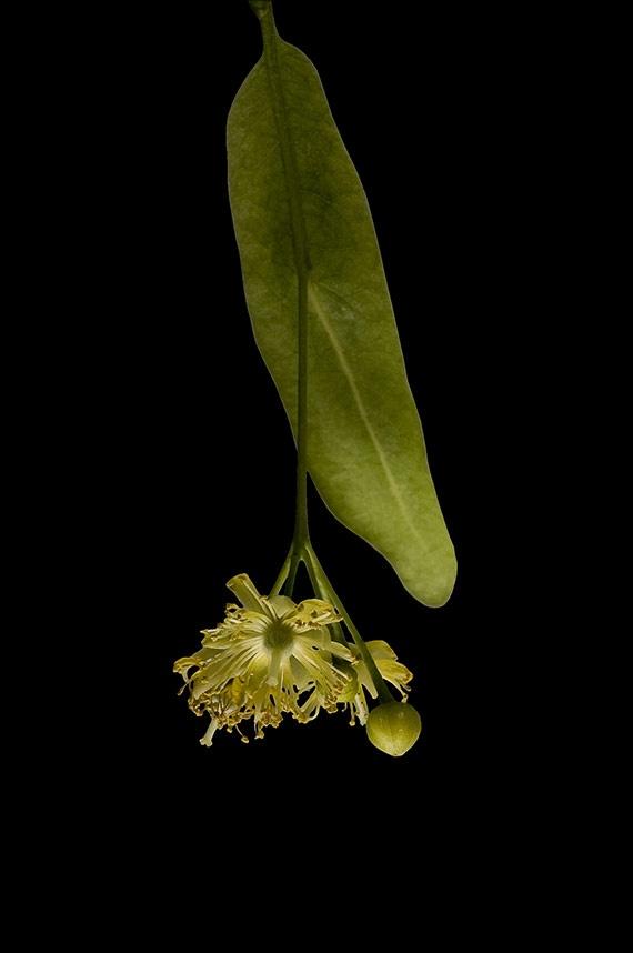Hársfa (Tilia spp.)  Megfázásra, influenzára, felső légúti hurutos betegségekre alkalmazzák.