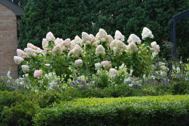this blogpost has the best info I have ever read on pruning Limelight hydrangeas and the general philosophy of pruning hydrangeas...The Last On The Limelight Hydrangeas | Dirt Simple