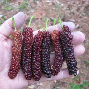 Pakistani Mulberry/Shaitoot.                                                                                                                                                                                 More