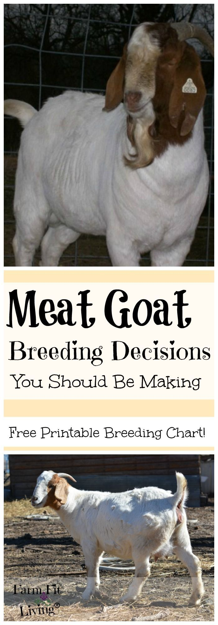 Meat Goat Breeding Decisions You Should Be Making Every Year | Raising Meat Goats | Homesteading