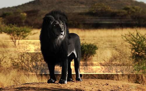 Melanistic Lion; Hoax or a Rare Beauty? Hoax.. Made by Paulie SVK on Devianart