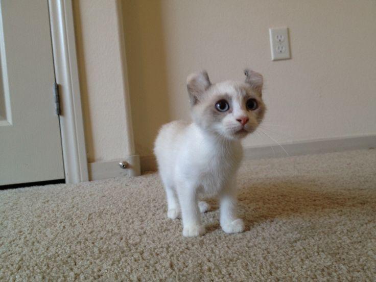 cost of neutering a kitten