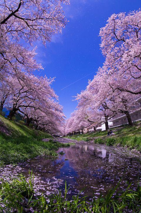 毎年恒例の大好きな場所から今年は縦構図で撮りました! 桜吹雪が舞い散り、飛行機雲がスーーッとできて(*´艸`*) とても素敵でした♡♡