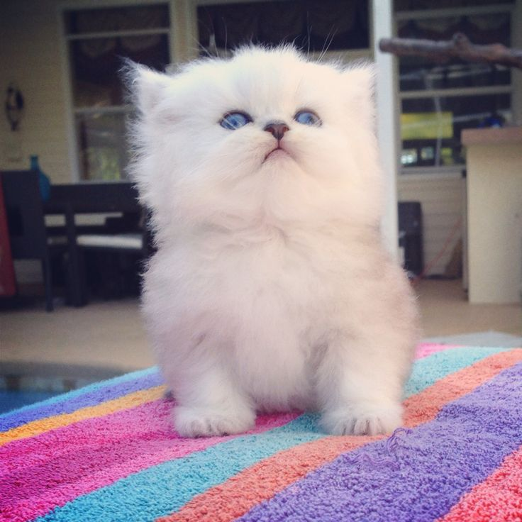 159 best images about Teacup Persian Kittens For Sale on ...