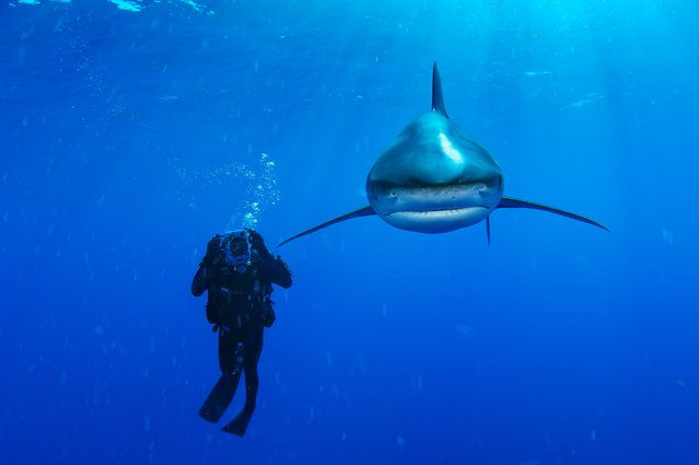 This Bahamian oceanic whitetip shark, known for the distinctive coloring on its white-tipped, rounded extremities, is part of a globally threatened species due to overfishing demands, primarily for its fins. (Photo by Brian Skerry)