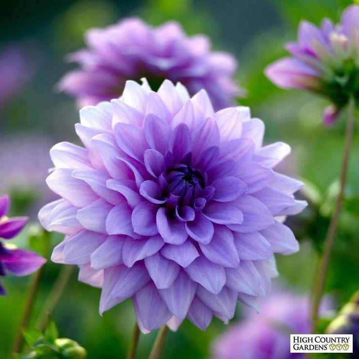 Blue Boy Dahlia Bulb Flowers In 2020 Bulb Flowers Beautiful Flowers Photography Beautiful Flowers Pictures