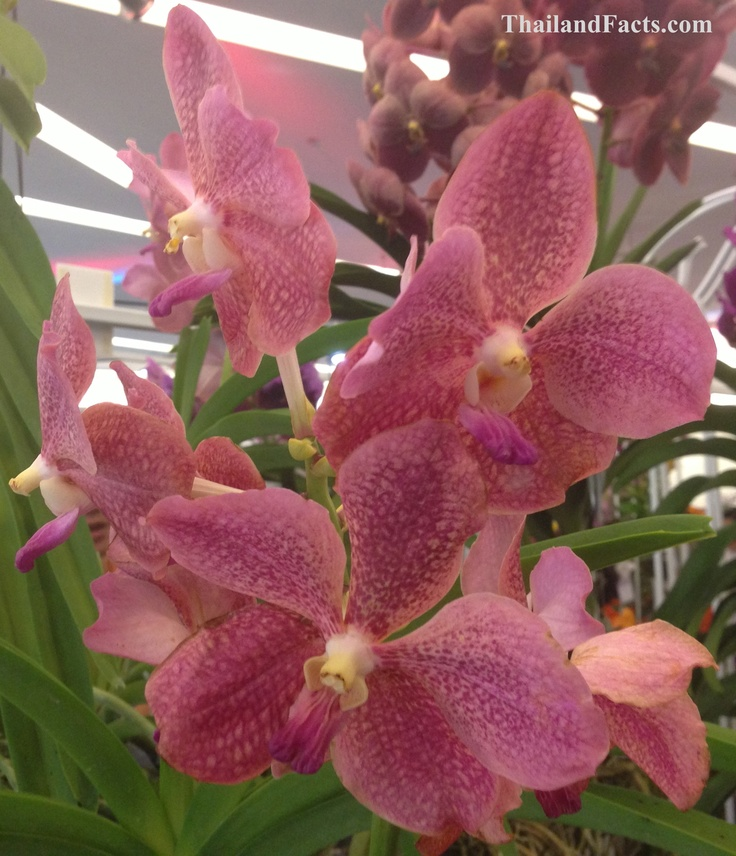 ThailandFacts.com pink orchid
