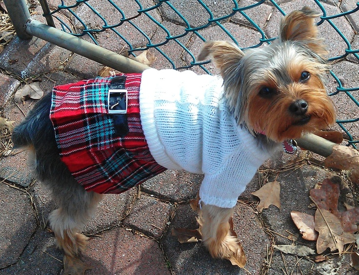 School girl yorkie: Photo Hams Mi