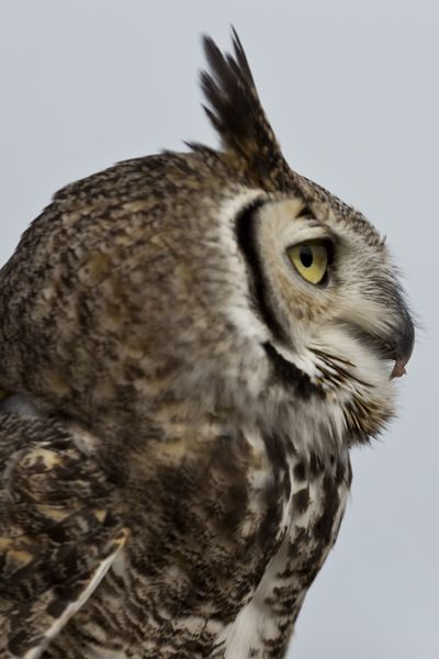 Great horned owl -- image by Florence McGinn, taken in Arizona