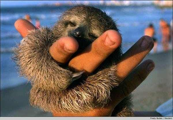 Beach Buddy is listed (or ranked) 3 on the list 47 Adorable Pictures of Sloths