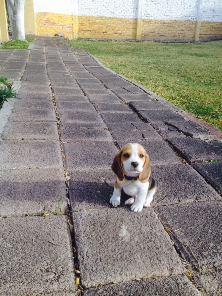 Cute Beagle Reaction To Other Beagles Howling Beagle Puppy