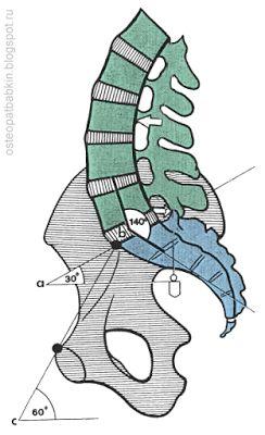 Нормальное положение крестца и поясничного отдела. Плоскость соединения крестца и пятого поясничного позвонка проходит под углом в 30 градусов к горизонтальной плоскости