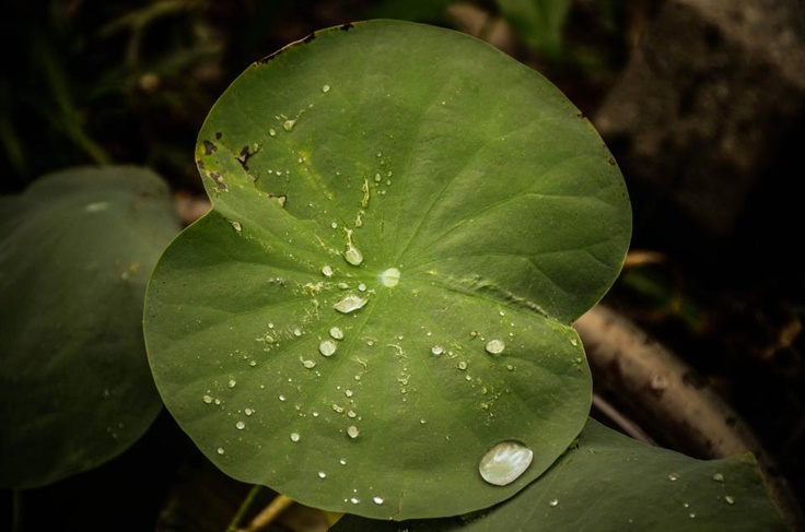 water lilly leaf
