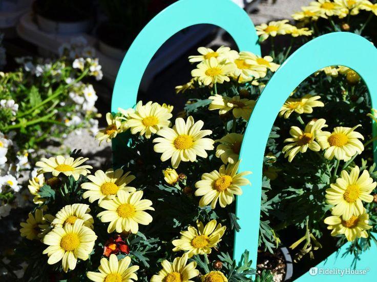 Bellissime e dal colore delicato le margherite giallo pastello raccolte in una cesta celeste con i manici.