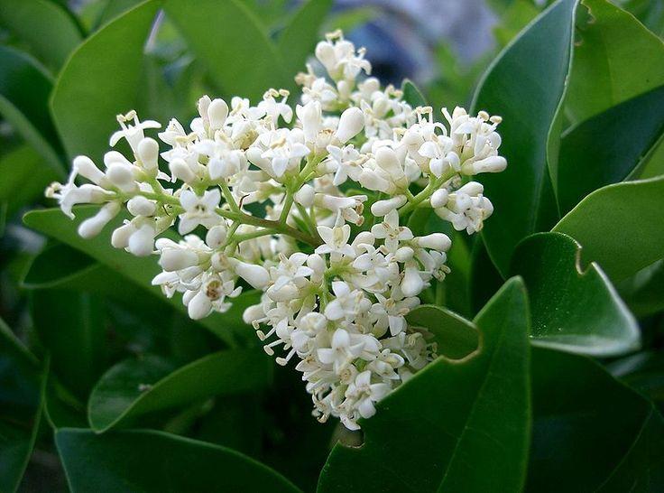 Λιγούστρο. Πολύ γνωστοί θάμνοι και δέντρα που χρησιμοποιούνται ευρέως στην κηποτεχνία. Υπάρχουν πολλά υβρίδια και παραλλαγές, τόσο ως προς το φύλλωμα όσο και προς το χρώμα του φυλλώματος. Μπορούν να φτάσουν τα 2,5-3 m και το σχήμα τους είναι ορθόκλαδο. Χρησιμοποιούνται για το σχηματισμό φυτικών φραχτών, για δενδροστοιχήσεις πάρκων ή δρόμων καθώς και για μεμονωμένη φύτευση. Καλλωπιστικοί θάμνοι - Φυταγορά Σερρών