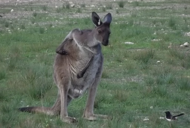 This is one of the residents of Lincoln National Park. Seen here having a scratch and chatting with a friend. http://greynomadtimes.com/wp-content/uploads/2012/06/Kangaroo02-2.jpg