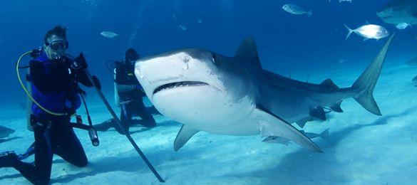 Shark diving is a potentially dangerous sport and since there can be strong currents, divers should be fairly experienced. The depths that we anchor in are between 10 and 100 feet.