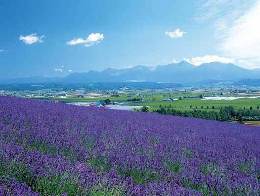 Lavender Farm Tomita, Furano, Hokkaido, Japan 富良野 ファーム富田