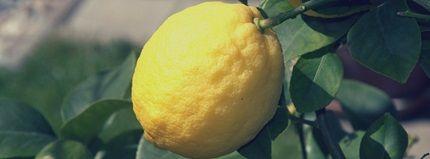 Pasning og dyrkning af citrontræ