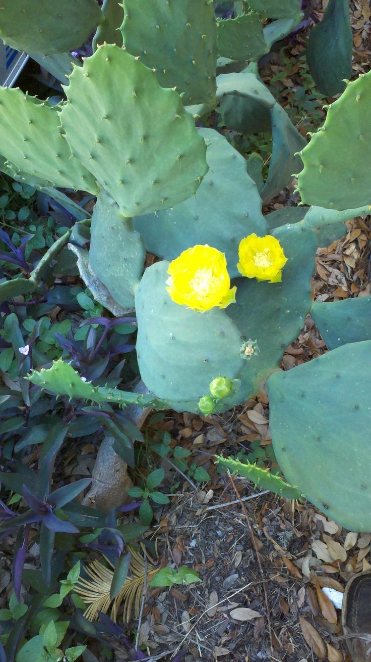 Cactus on Santa Dolores