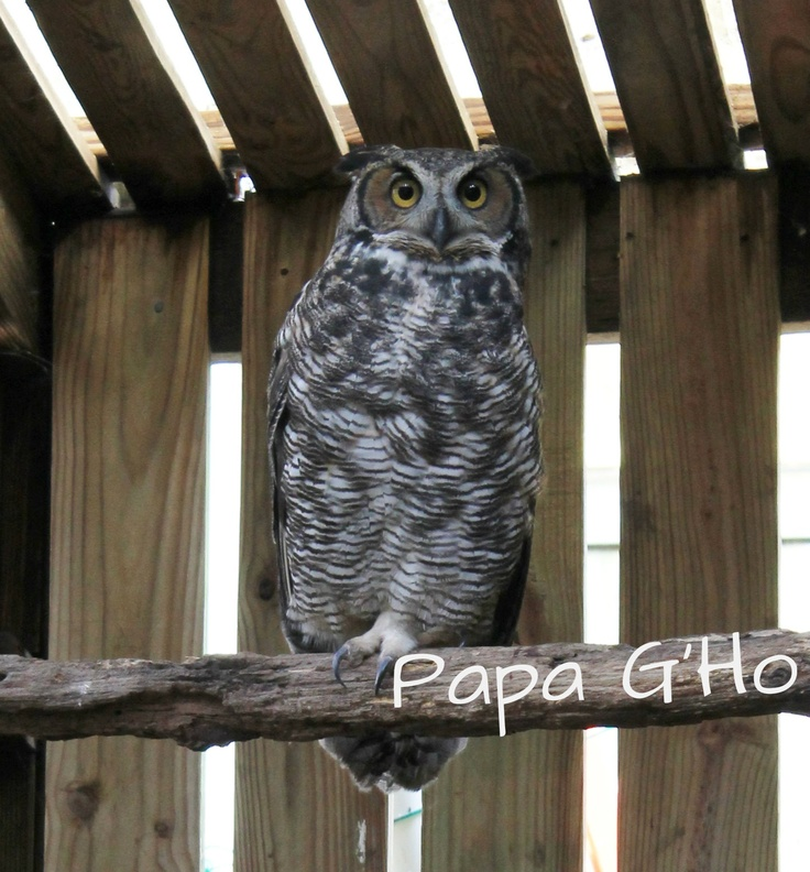 Papa G'Ho came to the Wildlife Center from Henrico County, Virginia, in December 2001.  He had sustained injuries to his feet and wings, likely after he was struck by a vehicle. Despite rehabilitation, Papa G'Ho never regained his ability to fly silently, which is critical to the hunting success of owls in the wild. Papa G'Ho plays a very important role at the Wildlife Center as a surrogate parent for any young, orphaned Great Horned Owls that we admit.