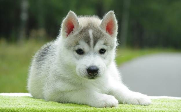 How are Pomskies groomed? | Pomsky Dogs and Puppies | Dog Breeds Journal
