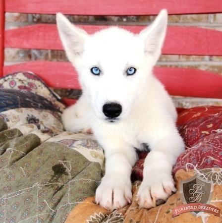 Siberian Husky puppy - Nitta