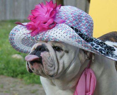 Baggy Bulldogs: English Bulldogs Love, Aunt Frieda, Baggy Bulldogs, Valentines Day, English Bulldogs Wrinkles, Bulldog Bananza, Valentine S Dogs, Holiday Bulldogs